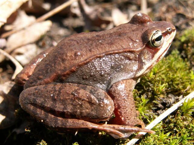 Wood frog tadpoles - photo#16
